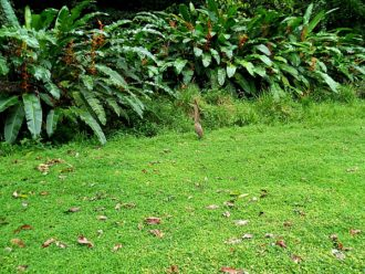 Tiger heron in Costa Rica