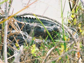 Alligator slumber Everglades