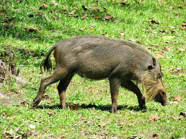 Bearded pig Bako