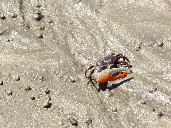Bako crab