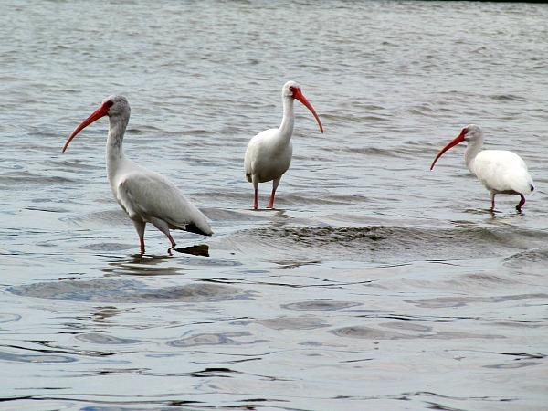 White ibis Florida