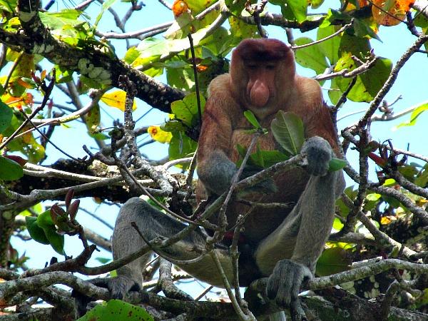 Proboscis monkeys Bako