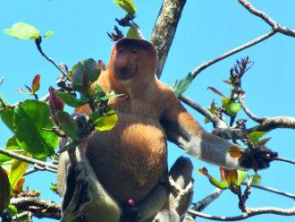 Proboscis monkey - Bako National Park