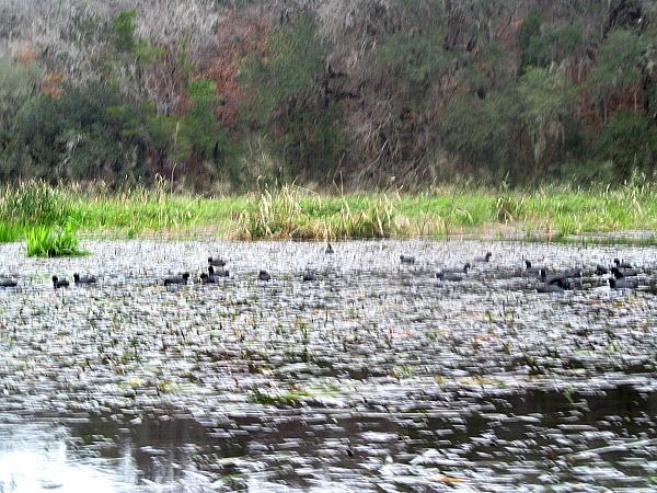 Coots Ichetucknee River Great Florida Birding Trail