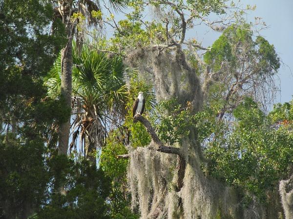 Crystal River National WIldlife Refuge osprey