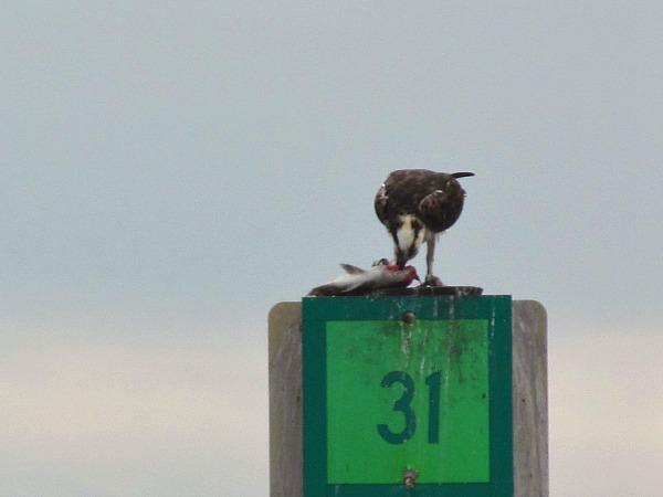Osprey Weedon Island