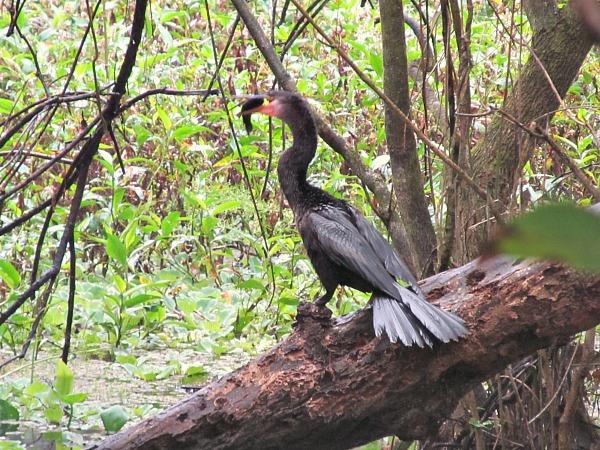 Corkscrew Swamp Sanctuary anhinga