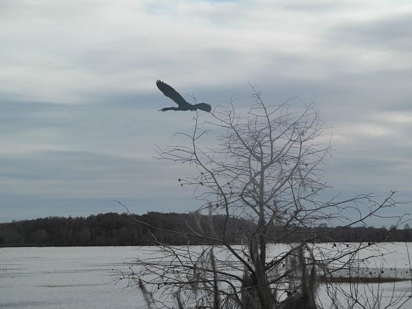 Anhinga flying Alligator Lake Recreation Area