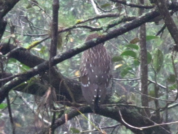 Barred owl Corkscrew Swamp