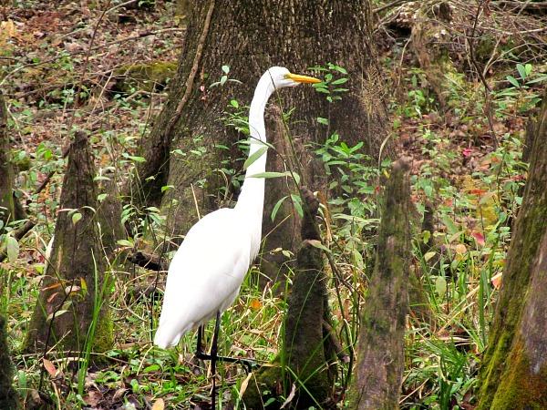Great egret Ichetucknee River