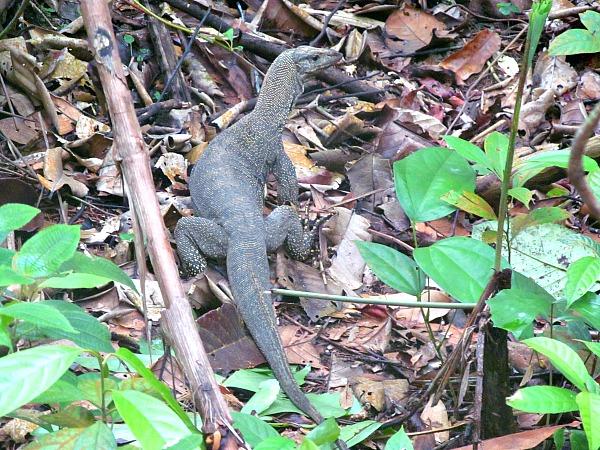 Monitor lizard singapore