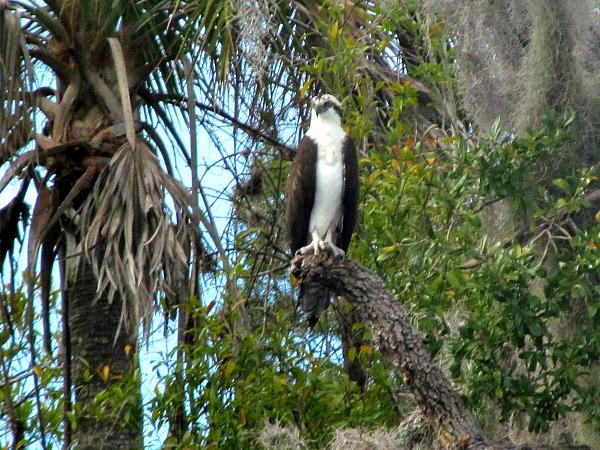 Crystal River osprey