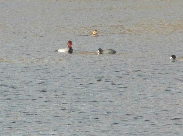 Redhead duck Alligator Lake