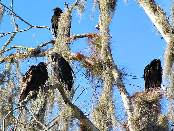 Vultures on the Hillsborough River