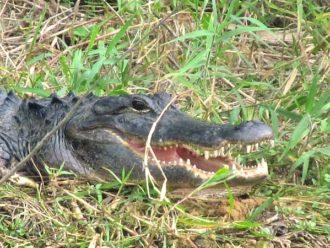 Best alligator viewing Florida