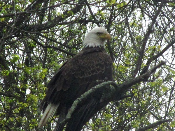 essay bald eagle The bald eagle was declared the nation's symbol back in 1782 after nearly vanishing from the nation it represents, the american bald eagle has soared off the endangered species list.