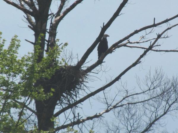 Black River Wisconsin bald eagle