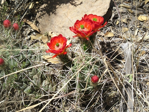 Big Bend cactus