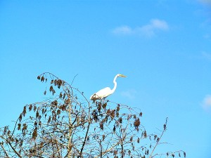 Exploring Fakahatchee Strand - The great egret is the official greeter