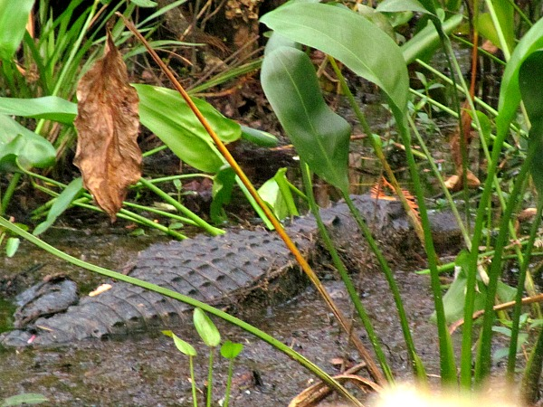 Exploring Fakahatchee Strand alligator