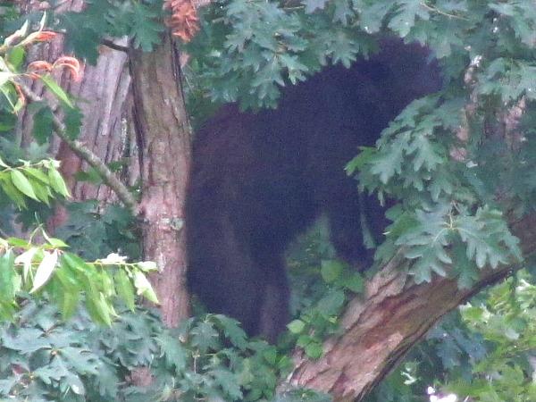 Great Smoky Mountains bear encounter