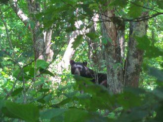 Smoky Mountain bear encounters -