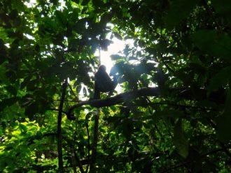 Spider monkey silhouette