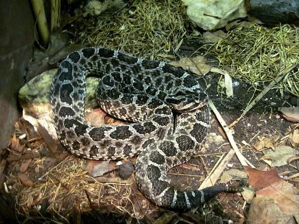 Indianapolis zoo rattlesnake