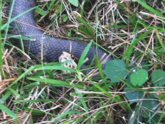 Water moccasin Florida