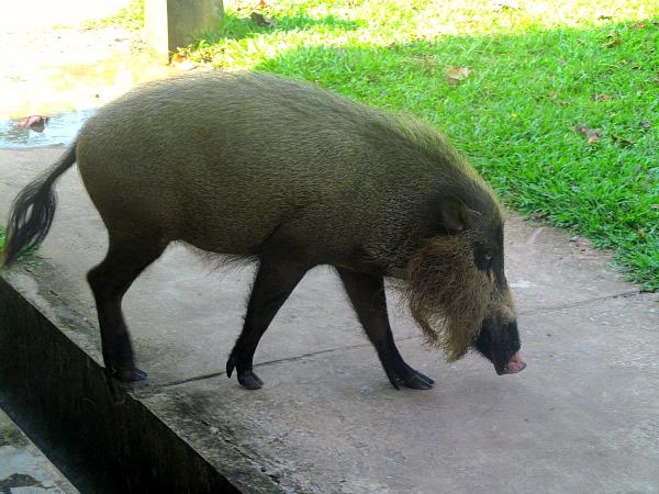Bako bearded pig