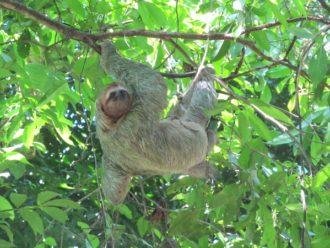 Manuel Antonio wildlife three-toed sloth