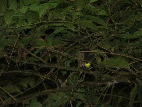Fruit bat Monteverde Costa Rica