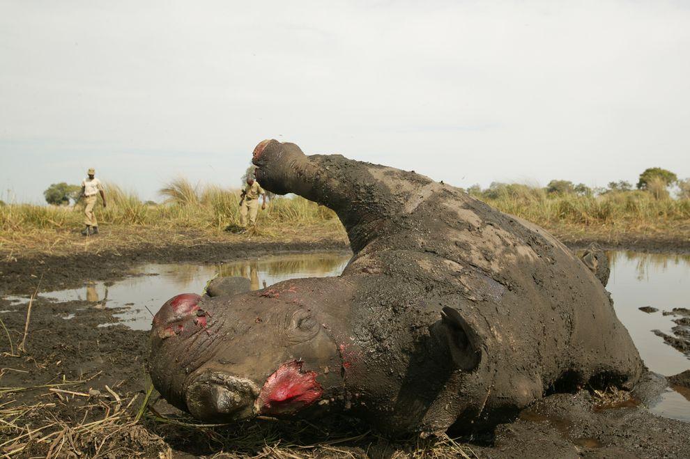 Chinese traditional medicine rhino horns