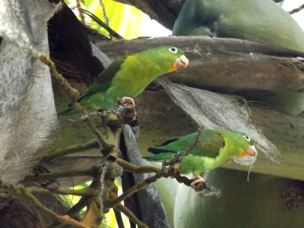 Parakeets Colombia