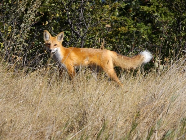 Fort Abraham Lincoln State Park red fox