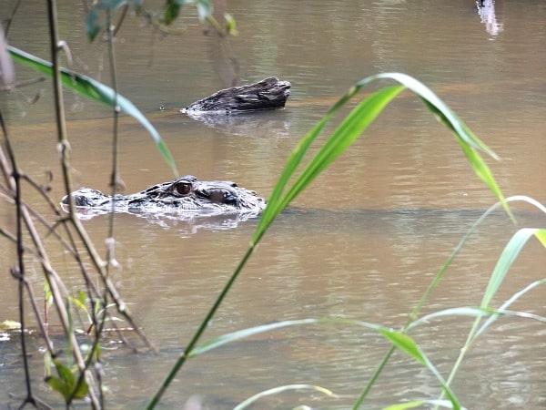 Black caiman Amazon River