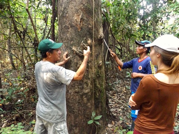 Rubber tree Amazon jungle