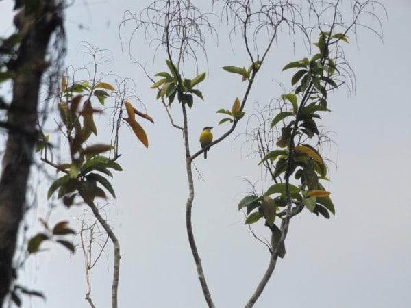 Social flycatcher Colombia