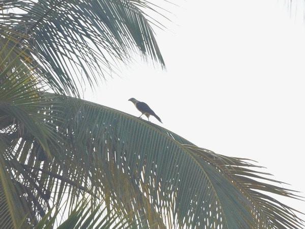 Bird of prey Colombia