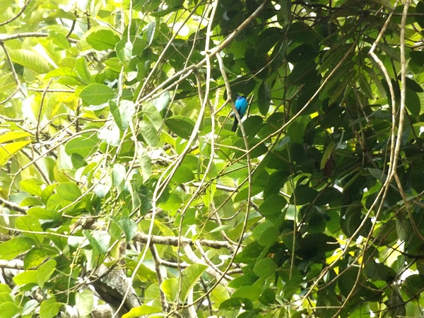 Colombia bird black-faced dacnis
