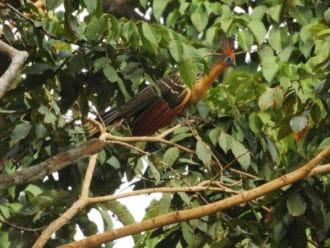 Colombia bird hoatzin