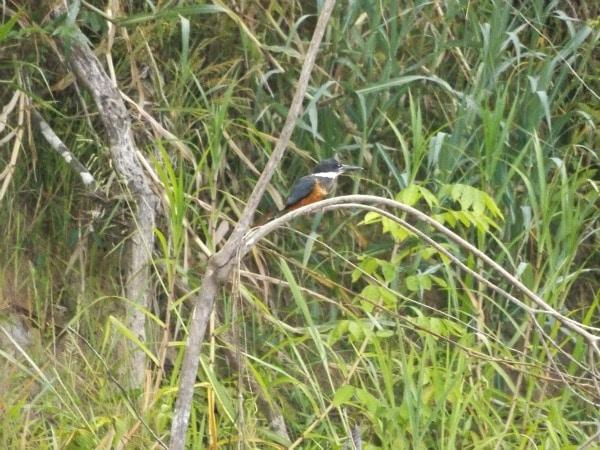 Kingfisher Colombia