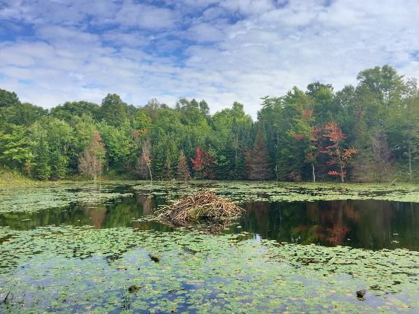 Beaver dam pond Chequamegon