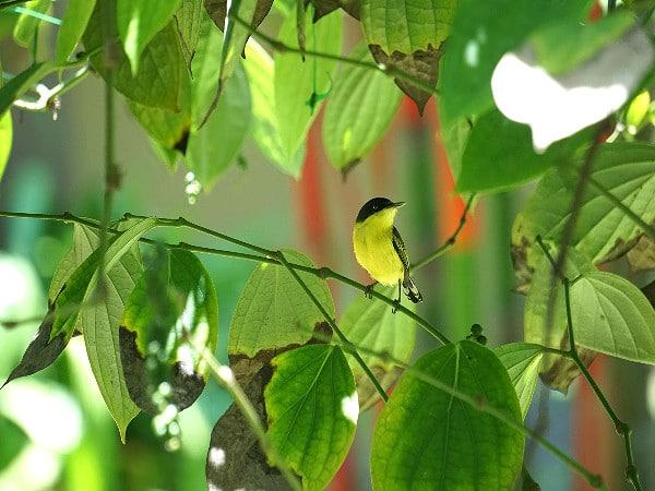 Bananaquit Costa Rica