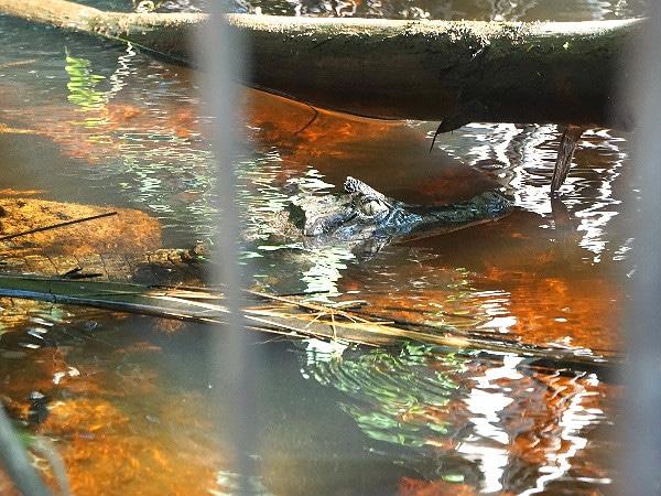 Tortuguero caiman