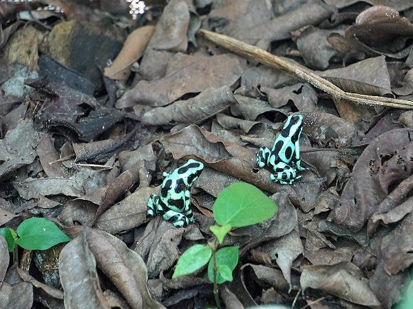 Mawamba Lodge poison dart frogs