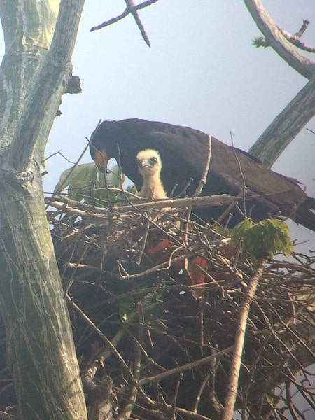 Black Hawk nest Corcovado