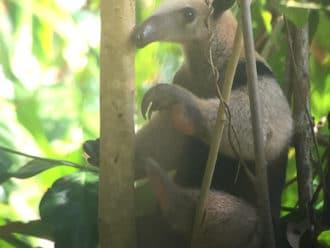 Northern tamandua Corcovado