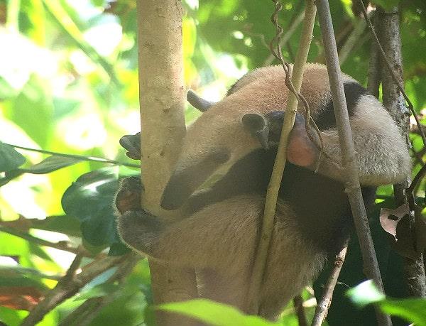 Anteater Corcovado Costa Rica