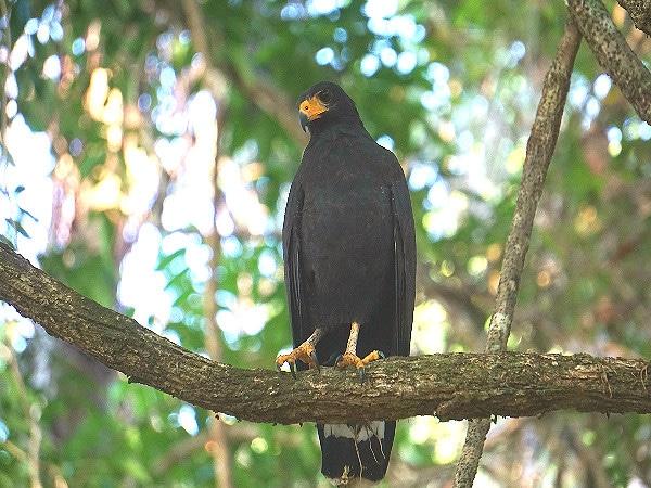 Common black hawk Corcovado
